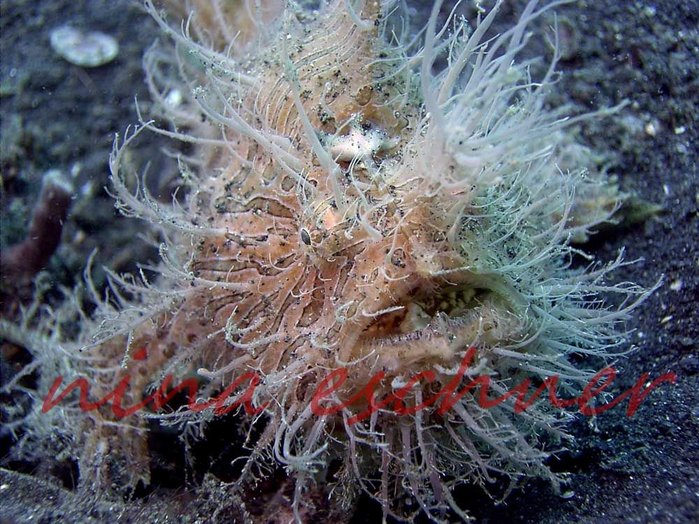 113 hairy-frogfish1